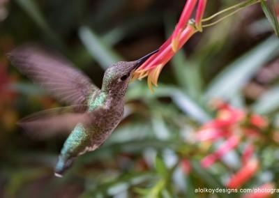 Hummingbird Mealtime