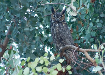 Great Horned in Eucalyptus
