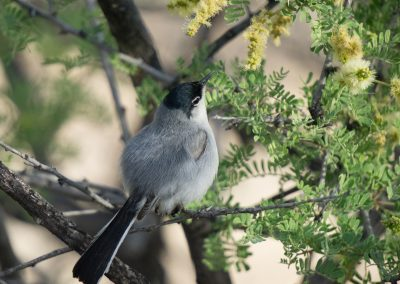 Black Tailed Gnatcather